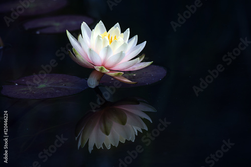 Aluminium Prints Water lilies light pink water lily (Nymphaea Clyde Ikins) with leaves and reflection on the dark pond