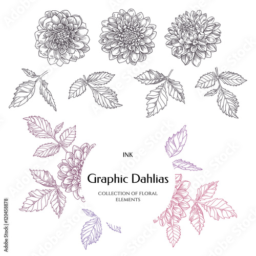 Hand-drawn ink dahlias. Collection contour buds, leaves dahlias. Poster Mural XXL
