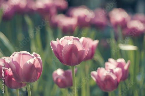Photo pink tulip flowers closeup