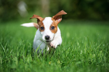 Adorable Jack Russell Terrier Puppy Running Outdoors