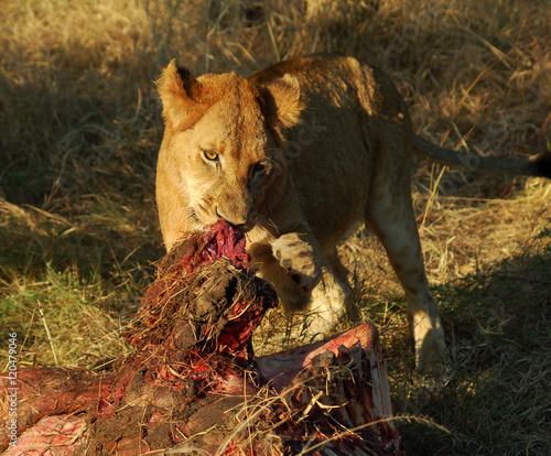 Aluminium Prints Buffalo Lion with Prey