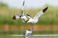 Fight Of Pied Avocets