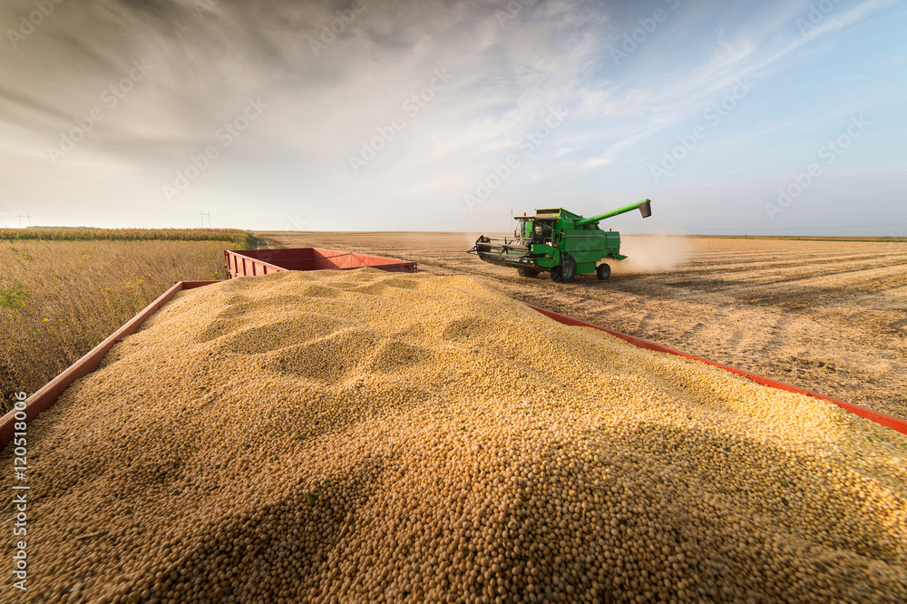 Fototapety, obrazy: soybean harvest in autumn