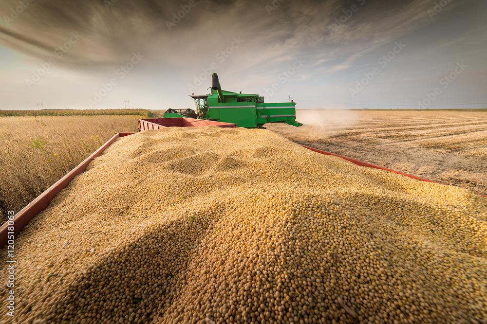 Fototapety, obrazy: soybean harvest in autumn