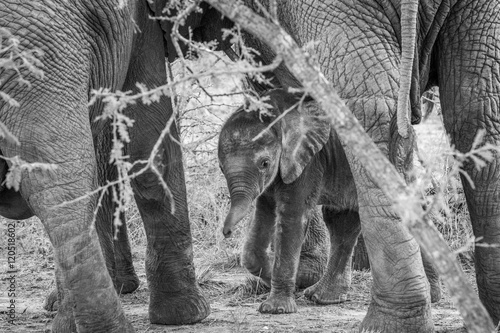 Foto  Black and white picture of a baby Elephant in between the legs of his mother