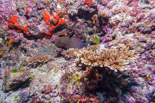 Fototapety, obrazy: Moray Eel in Tropical Coral Reef, Maldives