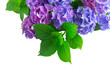 blue and violet hortensia fresh flowers with fresh green leaves border isolated on white background