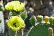 Pszczoły zapylające kwiaty opuncji.