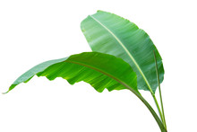 Banana Leaf Wet Isolated On Wh...