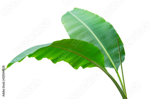 Obraz Banana leaf Wet isolated on white background. File contains a clipping path. - fototapety do salonu
