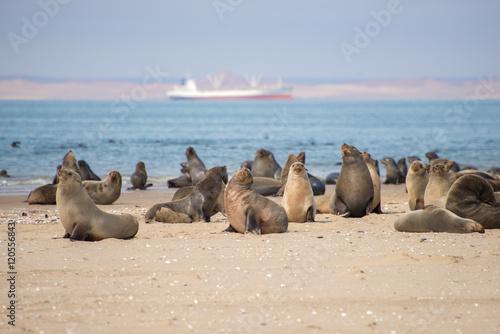 Fototapeta premium Seals at Pelican Point