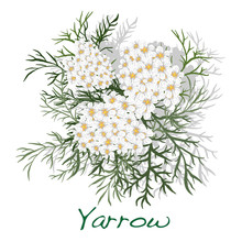 Yarrow. Medical Herb. Vector.