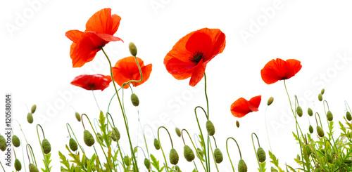 In de dag Poppy Poppy flowers isolated on white background