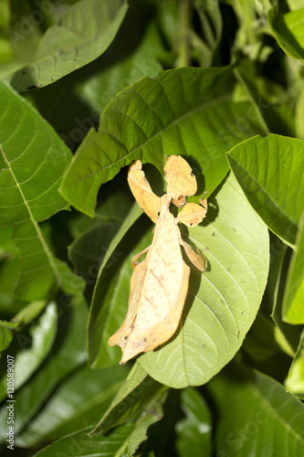 Photo  Leaf insects Phylliidae are camouflaged,  Indonesia
