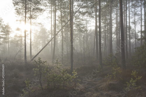 Foto op Aluminium Bossen Foggy forest. An image of a pine forest at the swamp. Image taken on a cold morning in November in Finland.