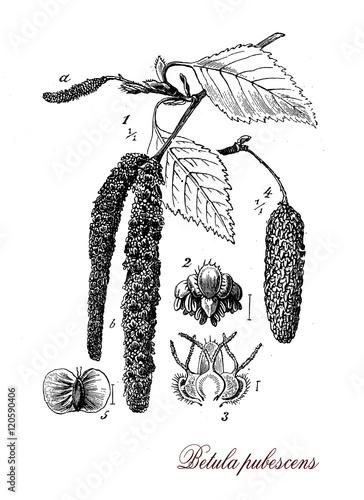 Foto  Betula pubescens or white birch, botanical vintage engraving