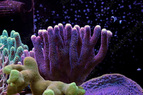 Poster Sous-marin Stylophora Coral SPS coral