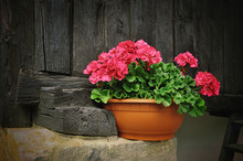 Red Geranium Flower, Potted Plant On Rural Black Wooden Background