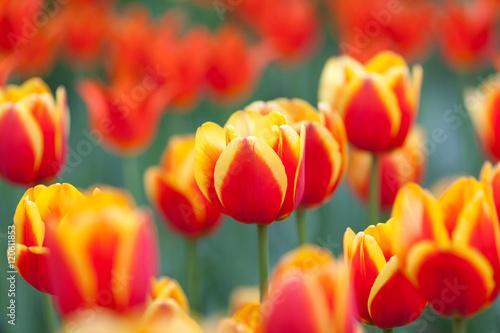 Montage in der Fensternische Tulpen Red-yellow tulips