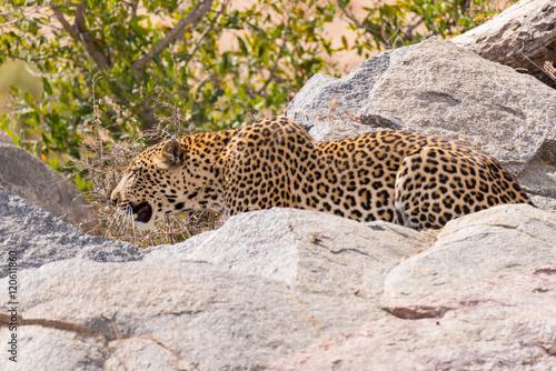 Plakat Wielki lampart w pozycji atakującej gotowy do zasadzki między skałami i krzakiem. Park Narodowy Krugera, Republika Południowej Afryki. Ścieśniać.