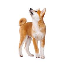 Akita Inu Purebred Puppy Dog I...