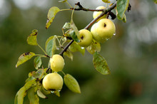 Wild Organic Apples On Tree.
