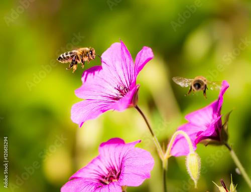 Plakat Pszczoły latające do kwiatów geranium