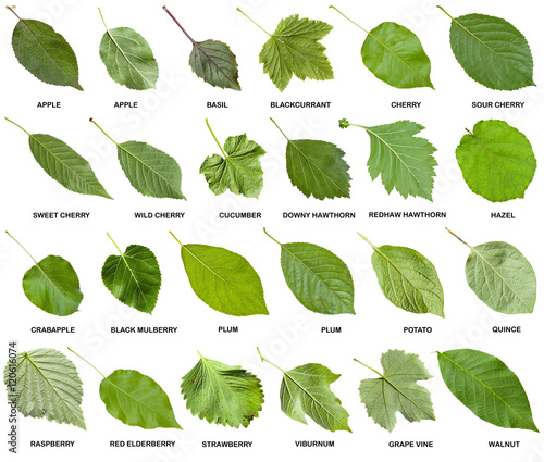 collage from green leaves of trees with names Wall mural