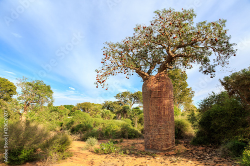 Baobab tree with fruit and leaves in an African landscape