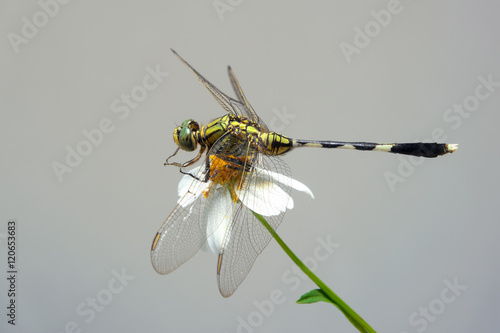 Fotografie, Obraz  Beautiful nature scene with butterfly Common Darter, Sympetrum s