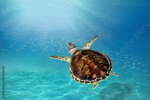 Poster Tortue hawks bill sea turtle dive down into the deep blue ocean