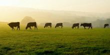 Herd Of Cows Grazing On A Farmland In Devon, England