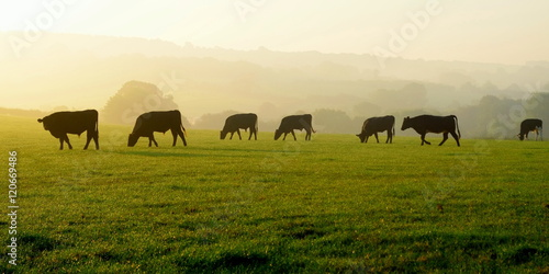 Foto Herd of cows grazing on a farmland in Devon, England