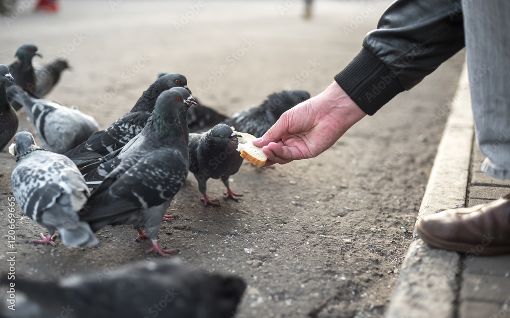pigeons eat crumbs from a hand of the person