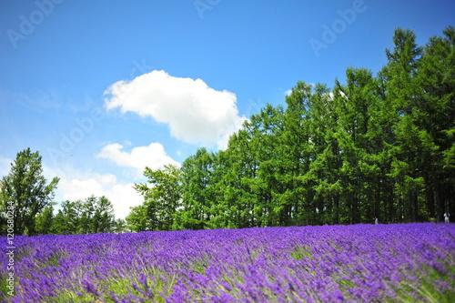 Foto op Canvas Lavendel Lavender Flower Fields in Hokkaido, Japan