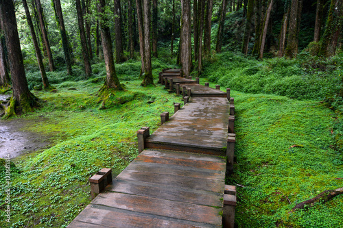 Fotografia Boardwalk through peaceful mossy forest at Alishan National Scenic Area in Chiay