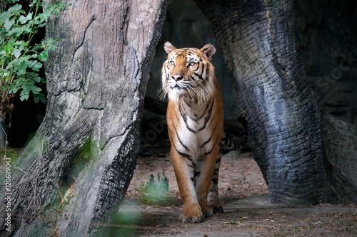 Foto auf AluDibond Tiger Bengal Tiger in forest