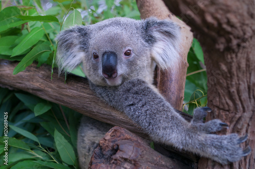 Foto op Canvas Koala Koala Bear in zoo.