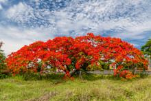 Flamboyant Flamboyant à La Réunion