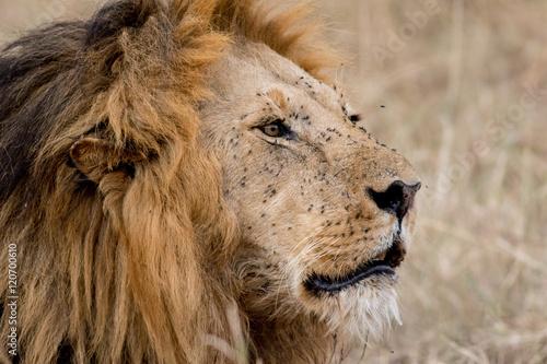 Fotobehang Leeuw King Male Lion Portrait in Masai Mara , Kenya