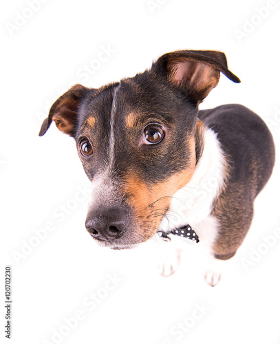 Photo  Jack Russell terrier on a white background
