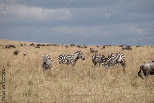 Staande foto Afrika Beautiful Herd in the nature of Masai mara ,kenya, africa