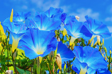 Heavenly Blue Ipomoea (morning Glory) Flowers