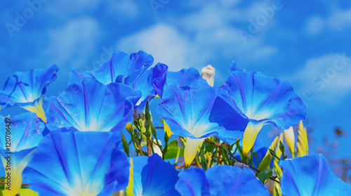 Fotografie, Tablou  Heavenly blue ipomoea (morning glory) flowers