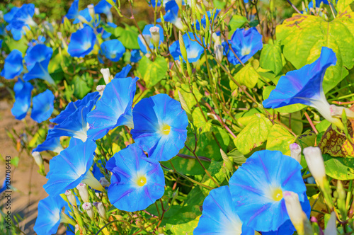 Photo  Heavenly blue ipomoea flowers
