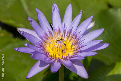 Foto op Canvas Lotusbloem Bees on Lotus flower for nature background