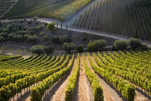 Rows Of Grape Vines Ripening In The Sun At A Vineyard In The Alto Douro Region, Portugal