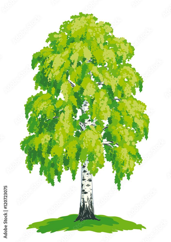 Birch tree - vector drawing
