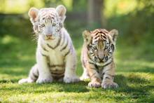 White And Red Tiger Cubs Outdo...