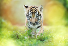 Adorable Tiger Cub Walking Outdoors